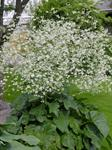 Greater Sea-kale (Crambe cordifolia)